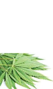 Cannabis  Seregno